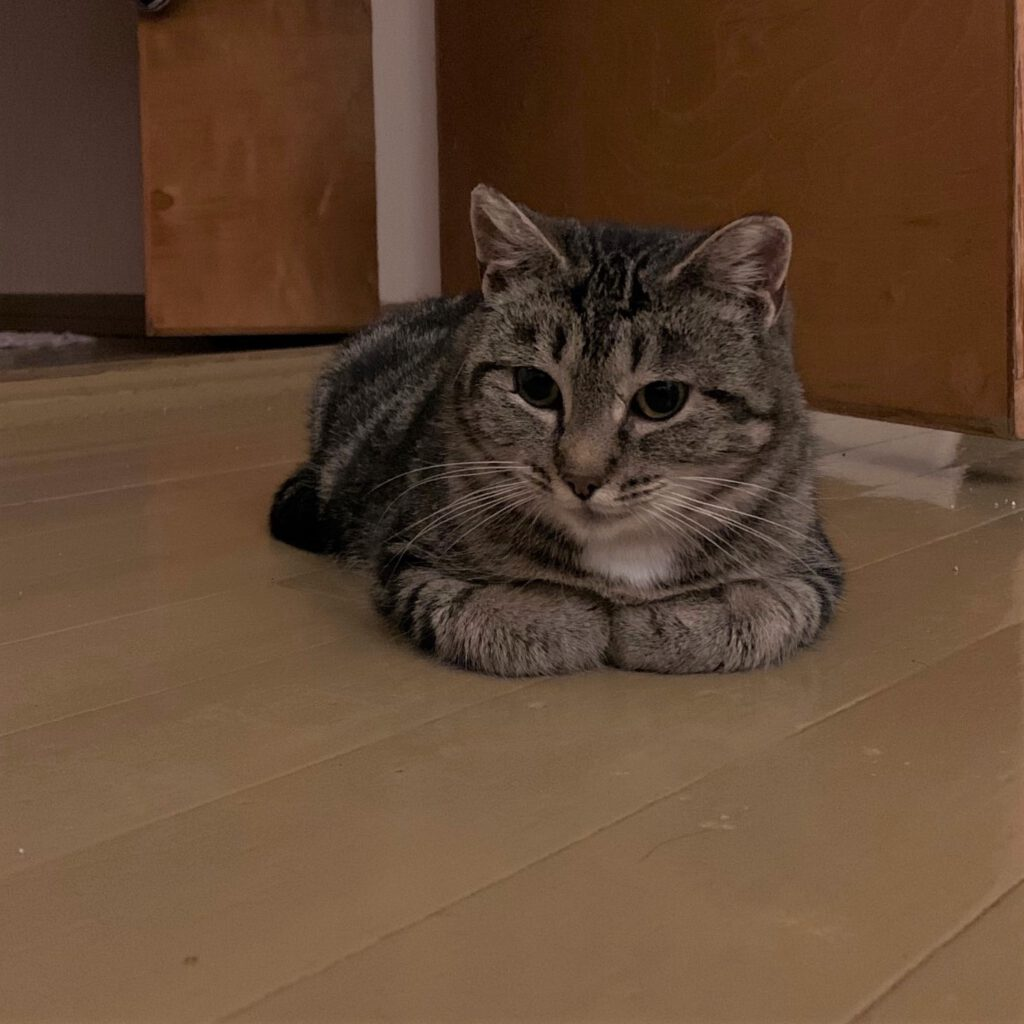 Alajärven Tassutiimi koditon kissa