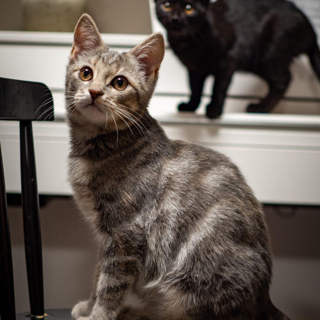kotia etsivä kissanpentu koditon kissa